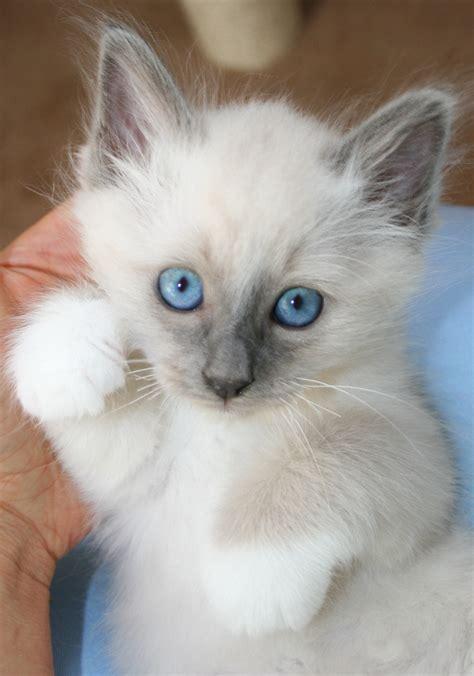 reinrassige heilige birma kitten  euskirchen tiere