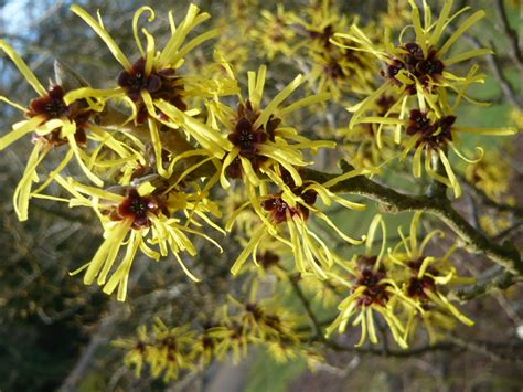picture of witch hazel plant witch hazel tree for flowers in february