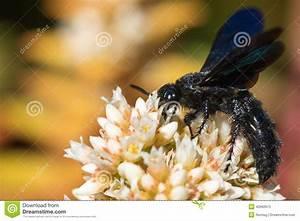 Schwarze Wespe Deutschland : schwarze wespe von der seite stockbild bild 40962615 ~ Whattoseeinmadrid.com Haus und Dekorationen