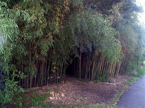 bamboo garden nj phyllostachys nuda rutgers new jersey usa bamboo