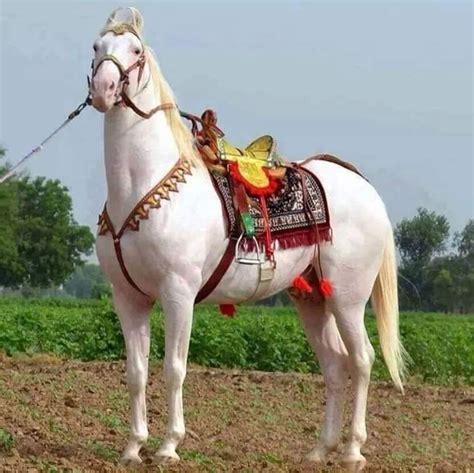 horse marwari horses pakistani arabian breed pakistan india kathiawari kathiawar dressage pretty tack animal dance animals peninsula western wallpapers creatures