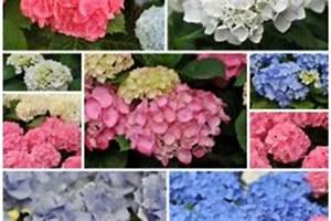 Wann Schneide Ich Hortensien : ihre hortensie verliert farbe was k nnen sie tun ~ Frokenaadalensverden.com Haus und Dekorationen