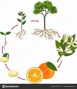 Ciclo Vida Naranjo Etapa Crecimiento Planta  U2014 Vector De