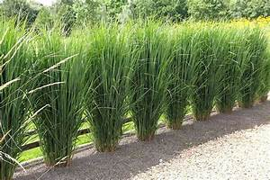 Bambus In Kübeln : siergras northwind google zoeken diverse beplanting ~ Michelbontemps.com Haus und Dekorationen