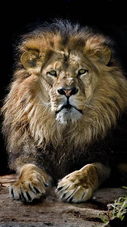 Lion Android Wallpapers Kolpaper Backgrounds