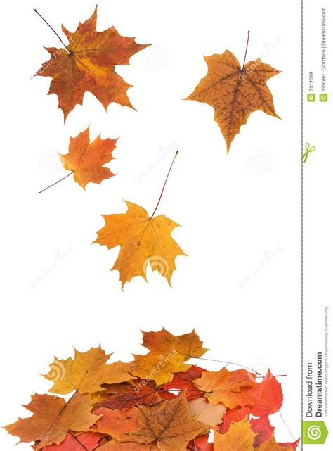 maple leaves falling royalty  stock  image
