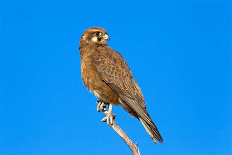 Bird Of Prey Seen 'starting Fire With Twig' To Smoke Out