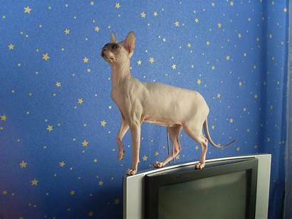 Sphynx Cat Wallpapers Unfathomable Animals Funny Creatures