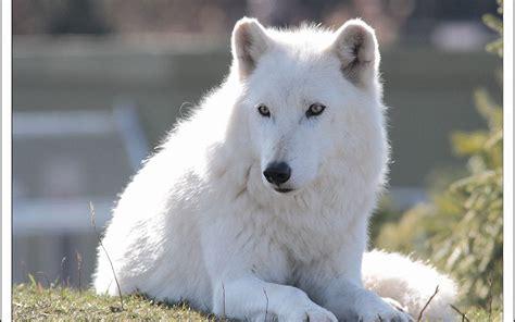 Animal Jam Arctic Wolf Wallpaper - animal jam wallpaper arctic wolf 69 images