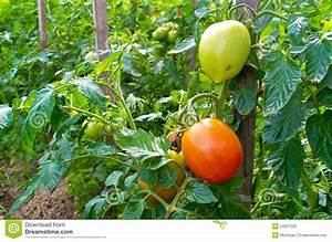 Green And Red Tomatoes Royalty Free Stock Photo - Image ...