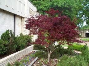 Acer Palmatum Bloodgood Japanese Maple