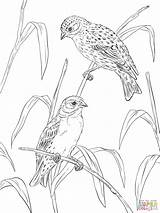 Coloring Pages Canary Canaries Atlantic Printable Supercoloring Popular Coloringhome sketch template