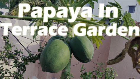 growing papaya   container terrace garden youtube