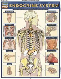 Endocrine System Quickstudy U00ae Each Area Of The Endocrine