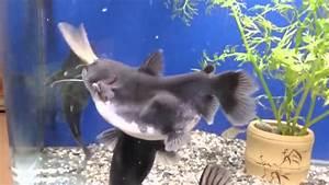 Queue De Poisson Voiture : un poisson chat ogre qui avale tout rond un autre poisson youtube ~ Maxctalentgroup.com Avis de Voitures