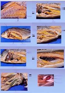 Bony Fish Internal Anatomy
