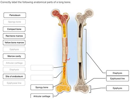The covering of a bone. Solved: Correctly Label The Following Anatomical Parts Of ... | Chegg.com