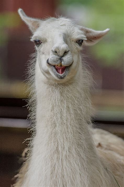 llama smiling smiling alpaca photograph by greg nyquist
