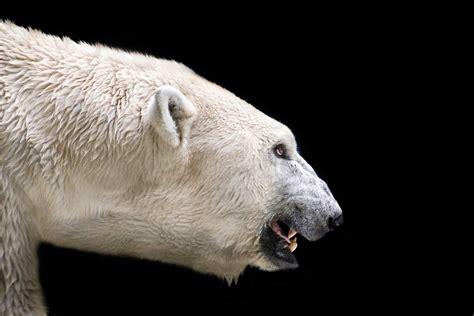 How One Man Escaped A Polar Bear Attack