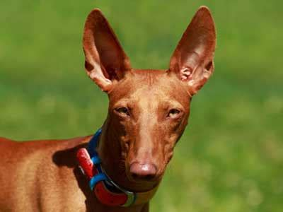 pharaoh hound information characteristics facts names