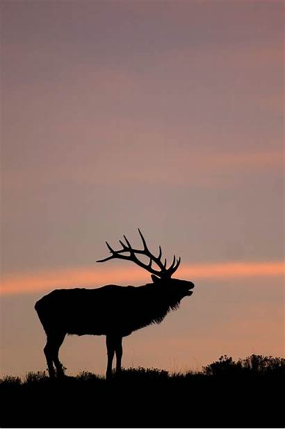 Elk National Yellowstone Backgrounds Bugling Cool Wyoming