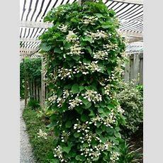 Schizophragma Hydrangeoides 'roseum' (climbing Hydrangea