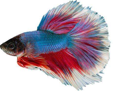 aquarium ab wann fische einsetzen แยก เหม อนปลาหางนกย ง freshwater 183 ภาพฟร บน pixabay