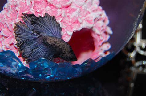 myths   truth  betta care  aquarium club
