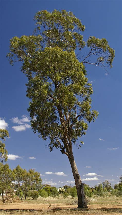eucalyptus melliodora wikipedia