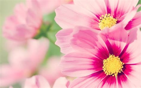pink flowers wallpapers hd pixelstalk