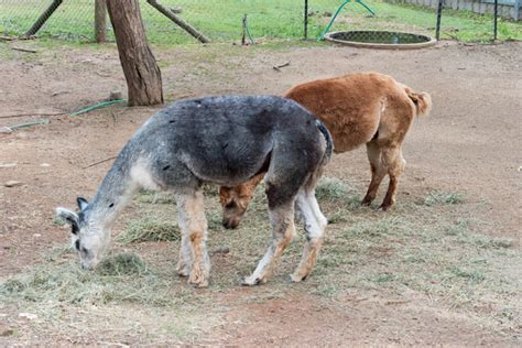 Altitude, Fauna, Llama, Alpaca, Lama