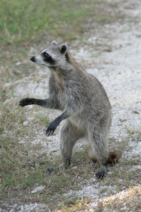 owning a raccoon file raccoon i hugh taylor birch state park jpg wikimedia commons