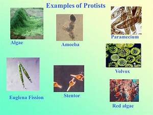 Unicellular Fungi Examples
