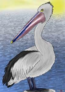 An How to Draw Pelican Drawing