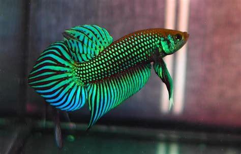 ปลาที่นิยมเลี้ยง ที่มีสีสันสดใสสวยงามและช่วยเสริมโชคลาภ ...