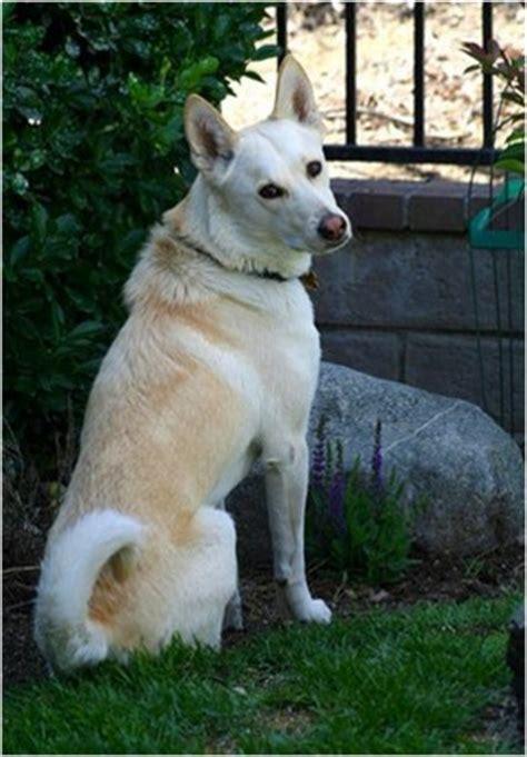 Canaan Dog Breeders Puppies Facts Pictures Temperament Price Animals Breeds