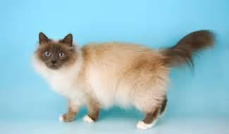 birman cats for birman cat breed information