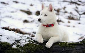 Siberian Husky Dog : Temperament, Training, Pictures and ...