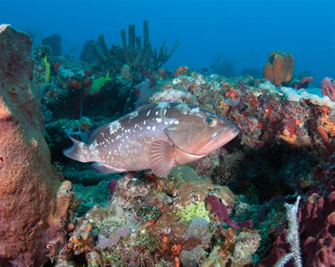 fish reef coral grouper ecosystem florida reefs healthy marine species keys behavior dynamic sharks depends these food