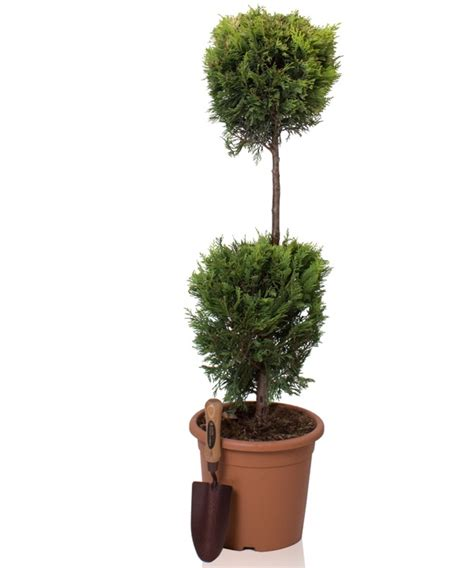 ft cypress topiary double ball goldrider  pot