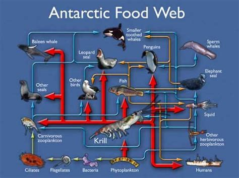 food web antarctic ocean chain webs sea chains antarctica animals environment marine prey predator land arctic ecosystem science atlantic north