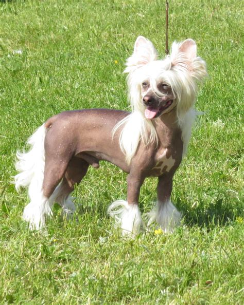Chinese Crested  Ee  Dog Ee