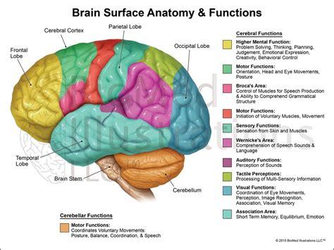 brain functions diagram anatomy human