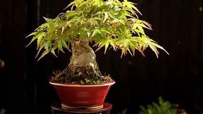 Bonsai Tree Acer Background Wallpapers Shohin Maple