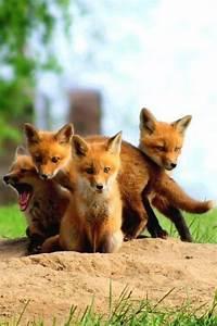 Twitter / SWildlifepics: Red Fox Babies | Cute | Pinterest
