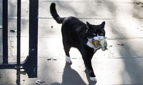foreign office cat palmerston shows vicious streak