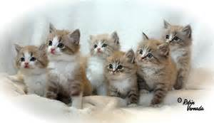 cat breeders ragamuffin information health pictures pet paw