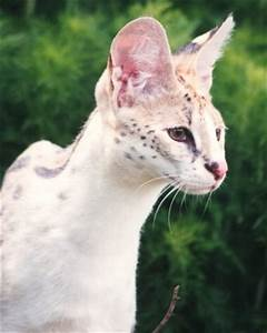 Pharaoh, white serval. | Big Cats | Pinterest | A well, To ...