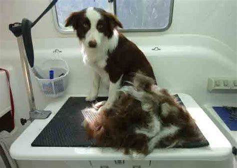 list  dog breeds  dont shed hair excessively