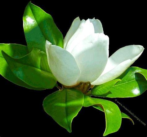 arbol de magnolia flor blanca  en mercado libre
